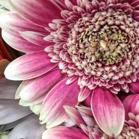 While perusing the flowers at a local grocery, I noticed this exquisite example of a Gerbera Daisy, which happened to be resplendent in one of my...