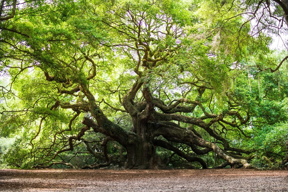 One of the oldest living trees in the world, The angel oak is likely anywhere from 500-1500 years...