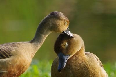 Lovely Lesser Whistling Duck