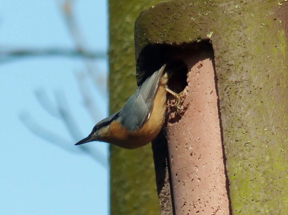 Nuthatch pic no 5