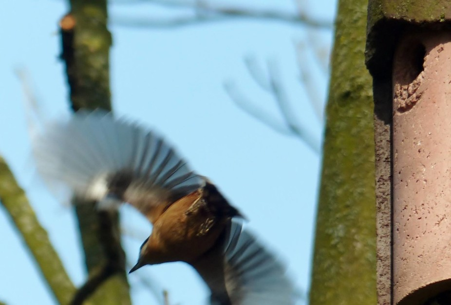 Nuthatch pic no 6, leaving the nest
