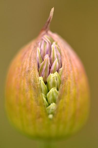 Allium- Bursting at the Seams
