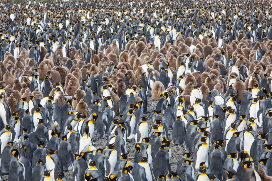 King Penguin Colony at Salisbury Plain, South Georgia.