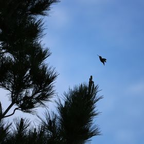 Shortly after some rain hummingbirds were flying around the trees of my backyard.
