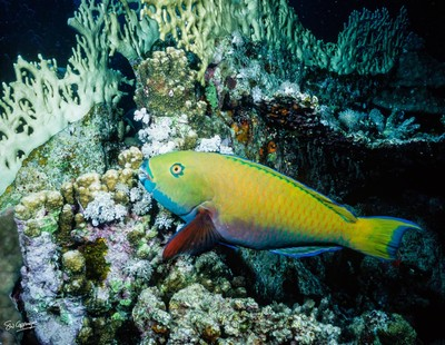 Parrot fish Red Sea