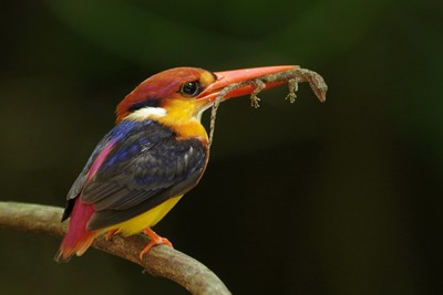 Black Backed Kingfisher with food in mouth