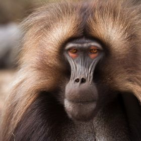 This is a male gelada that managed to usurp an older, more dominant male. Usually a bloody and vicious fight (sometimes to the death) this one wa...
