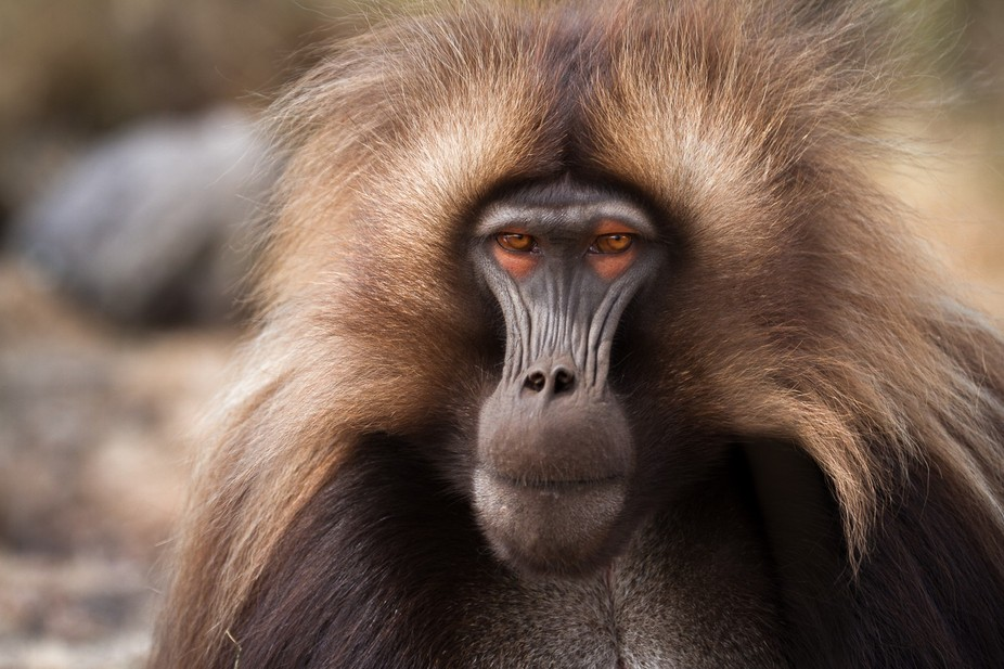 This is a male gelada that managed to usurp an older, more dominant male. Usually a bloody and vi...