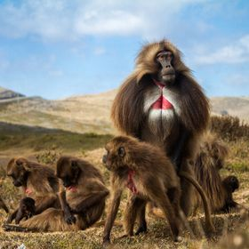 A male gelada monkey, named Iggy, mounts one of his females while carefully scanning the horizon for bachelor males. The life of a gelada male is...