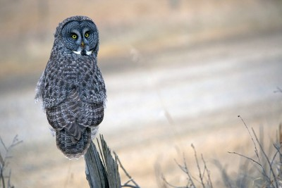 Great Grey Owl Posing