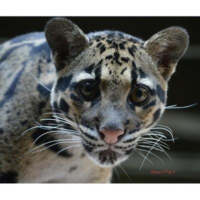 #cats #cat #catsofinstagram #cougar #wildcats #cutestcat #kitty #kitten