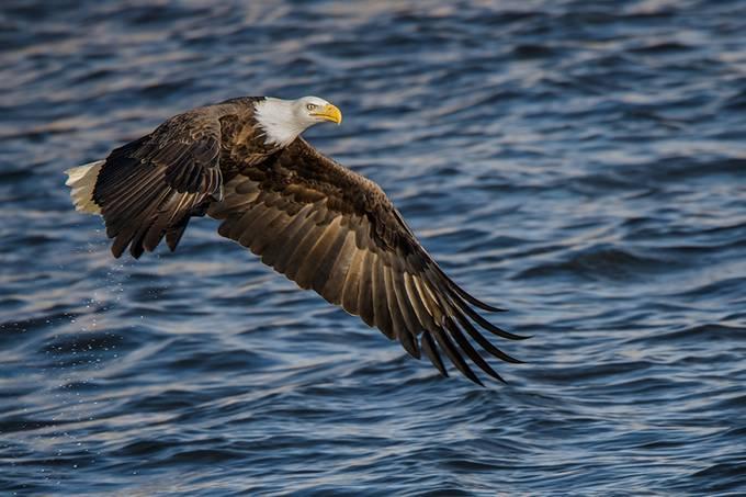 Power of Wings by vandanabajikar - Just Eagles Photo Contest