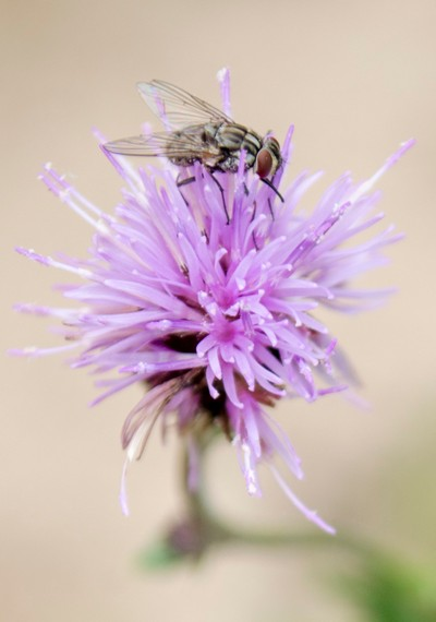 Fly, Flower, and Pollen