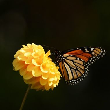 Monarch on yellow