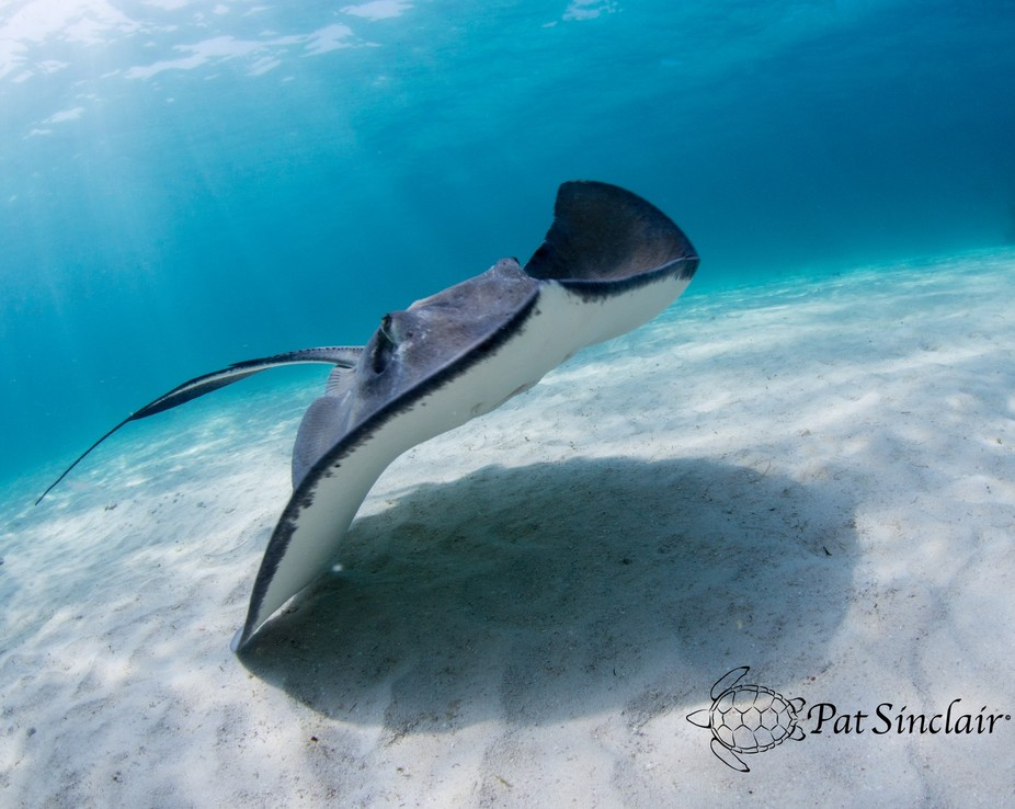 Lovely stingray at Stingray City in Grand Cayman.   Ambient light, in 15 feet of salt water.