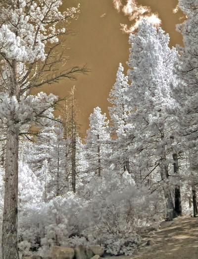 Galena Forrest In Infrared, Reno, Nevada.