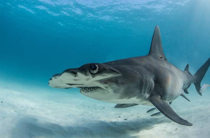 great hammerhead shark  by MattMcGee