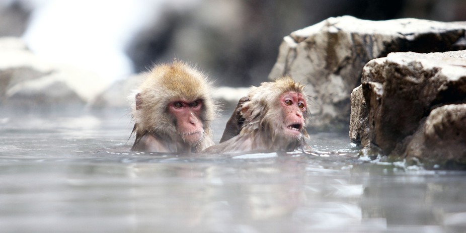 The monkey on the left kept dunking the monkey on the right in the onsen, as soon as he came back...