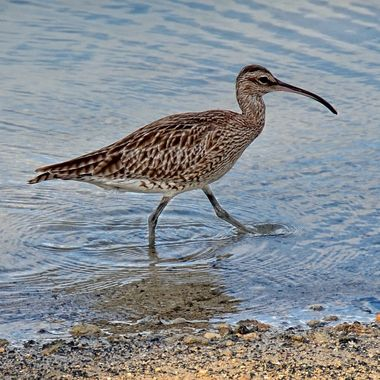 The Mauritius Collection - Waterbird