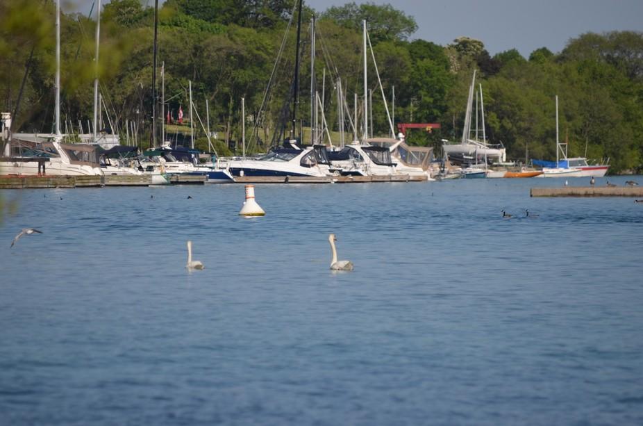 Harbour Swans