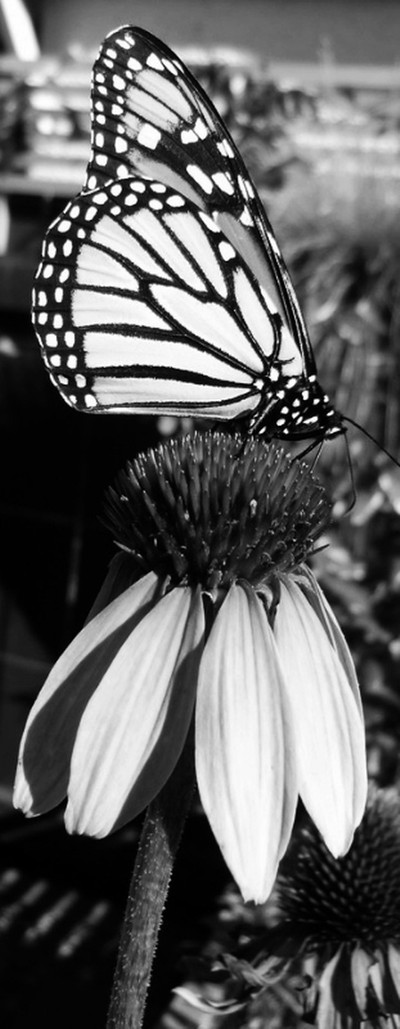 Echinacea Lure