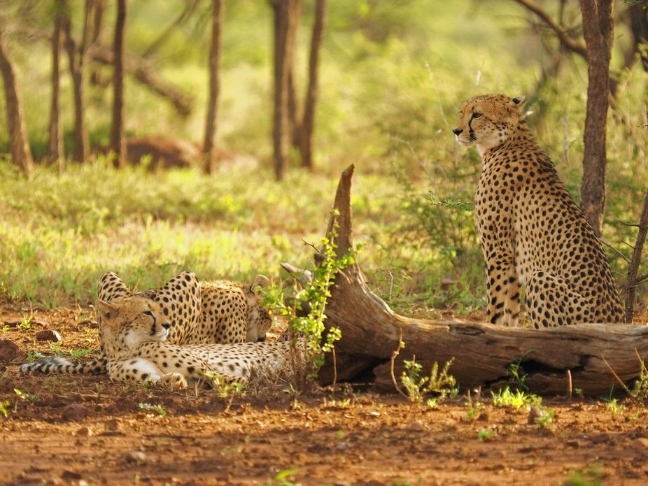 Cheetah mother looking after her youngsters in Mkhuzi Game Reserve in KZN South Africa. Olympus E...