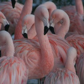 My fusion of pink flamingo's.  It took a lot of pictures to get a least one decent one that I am proud of and what I wanted to achieve the w...