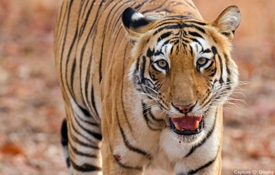 The Wild Cat of Tadoba Tiger Reserve