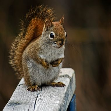A red squirrel standing on a wooden railing,