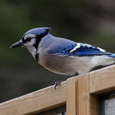 A blue jay sitting on a wooden fence.