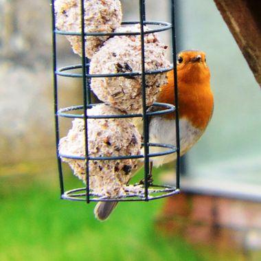 Robin on bird-feeder.