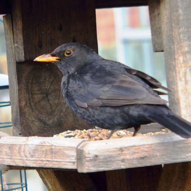 Blackbird visiting the Bird-table.