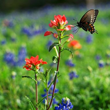 Swallowtail on Indian Paintbrush, in the Texas Hill Country