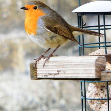 Robin on bird table.