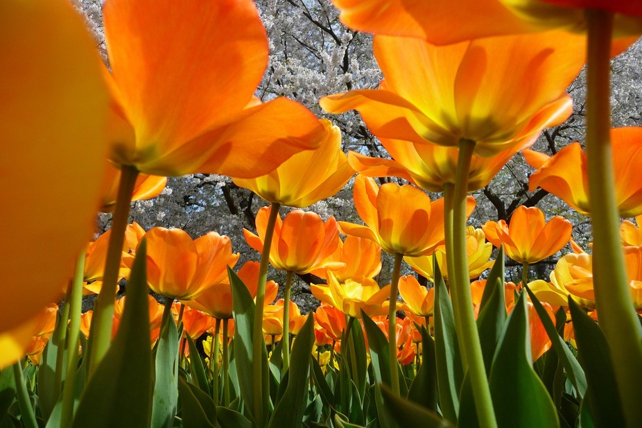 Some of the beautiful tulips that can be found during springtime at Longwood Gardens in Kennett S...