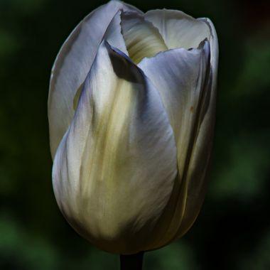 The Perfect White Tulip