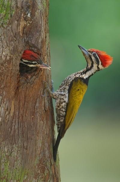 Woodpecker nesting