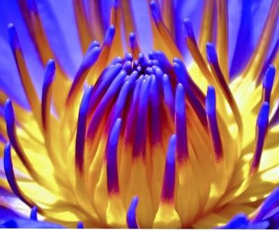 Inside of Purple Water Lily