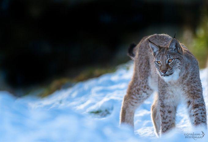 European Lynx by GWorks - Winter Wildlife Photo Contest