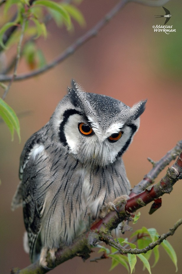 Southern White faced Owl by GWorks - Beautiful Owls Photo Contest