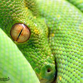 Eye - Green Tree Python