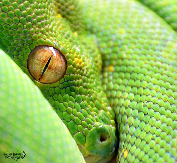 Eye - Green Tree Python by GWorks - Bright And Colorful Photo Contest