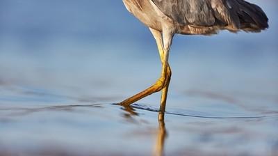 White-faced Heron - Close!