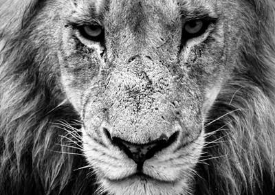 Panthera leo portrait