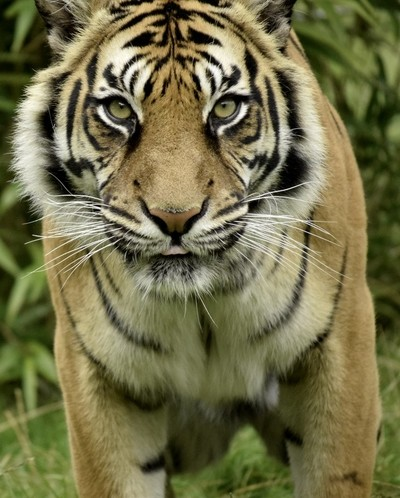 Nothing like a Tiger stare down! Shes' beautiful!