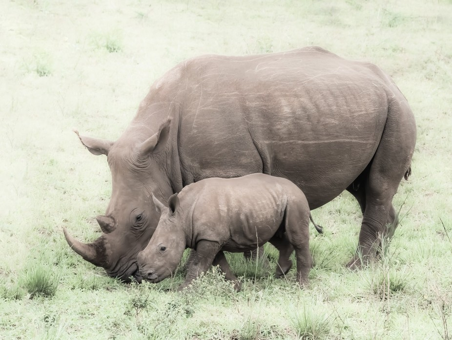 The white rhinoceros or square-lipped rhinoceros is the world's second largest land mamm...