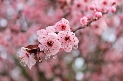 Cherry Blossom Morning Rain