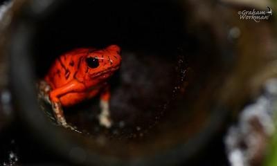 Poison Dart Frog.  Whitefoot. Captive Bred