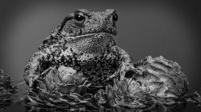Common European Toad