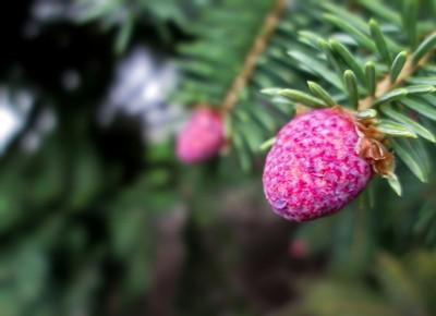 Immature Pine Cones